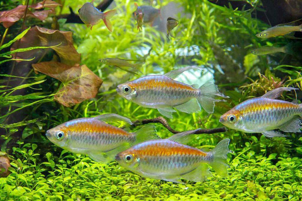 Congo tetra (Phenacogrammus interruptus)