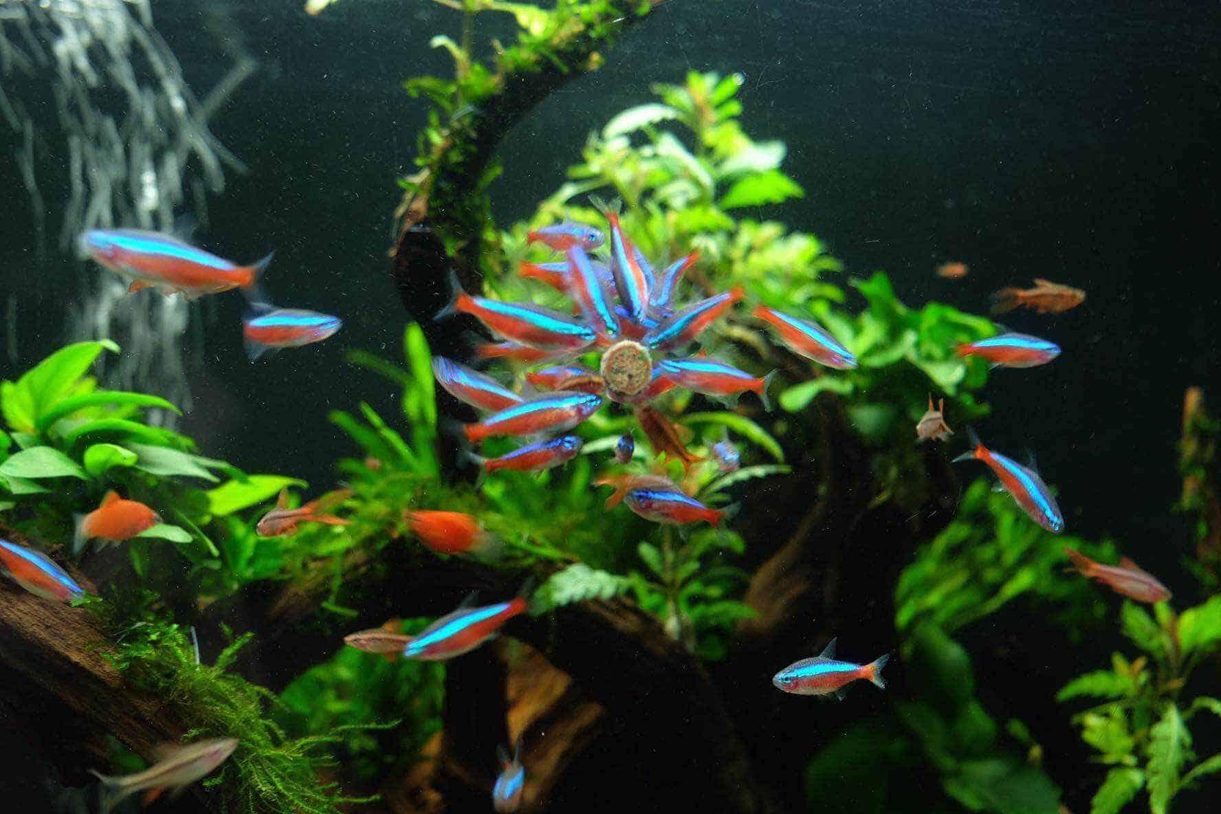 Cá Neon vua