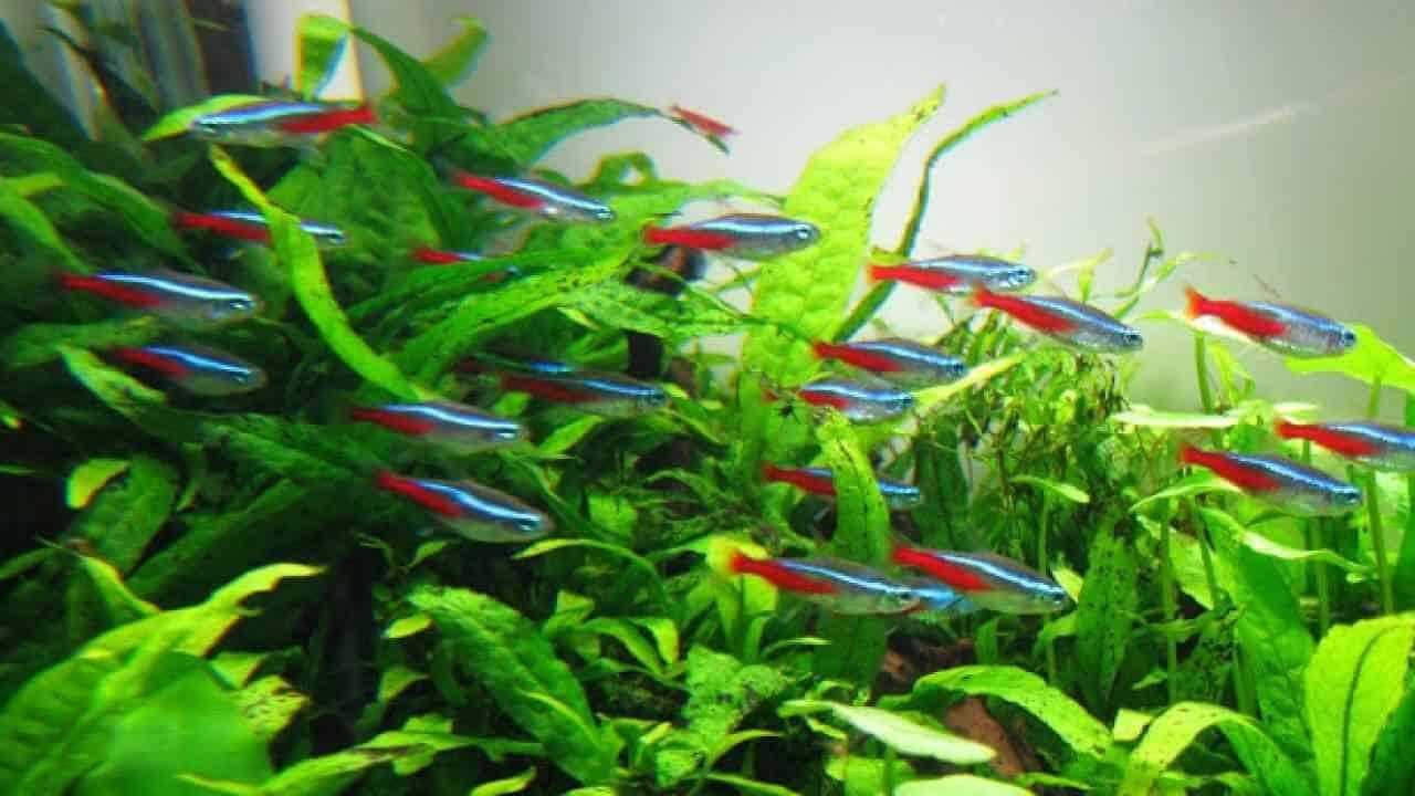 cá neon xanh