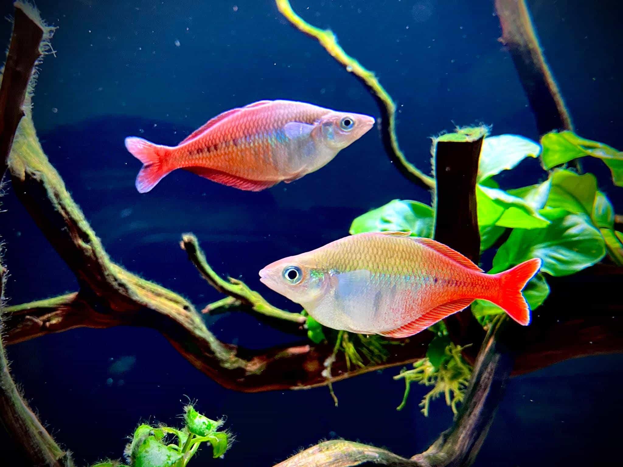 Blehers Rainbow Fish - Chilatherina bleheri